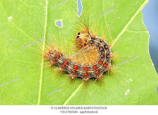 A Gypsy Moth (Lymantria dispar) caterpillar (larva) perches on a partially eaten oak tree leaf
