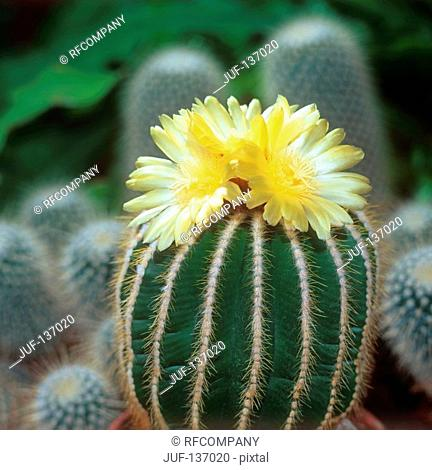cactus with blossoms