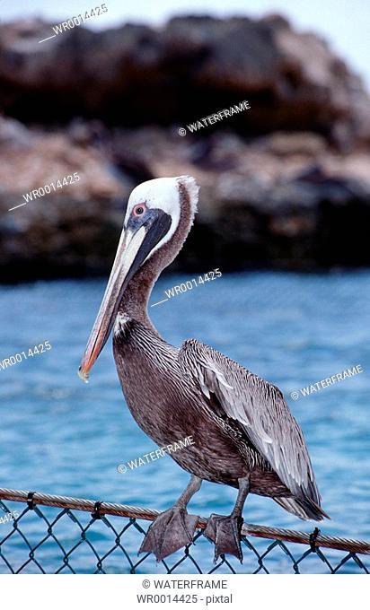 Pelican, Pelecanus occidentalis, Caribbean Sea, Curacao