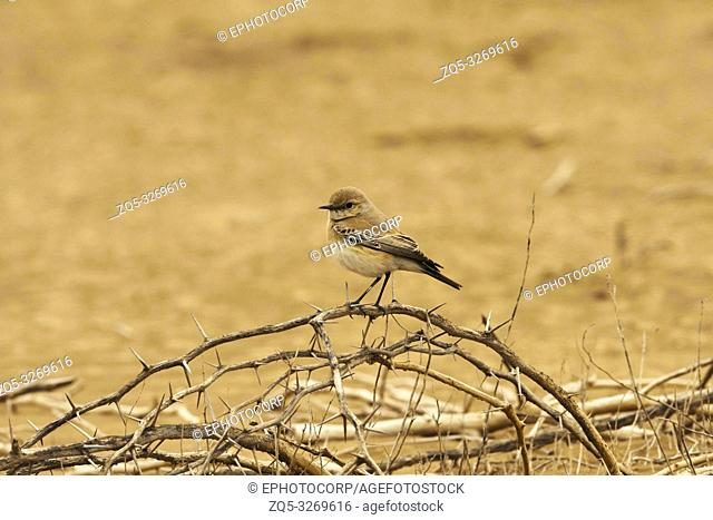 Desert wheatear, Oenanthe deserti, Blackbuck National Park, Velavadar, Gujarat, India