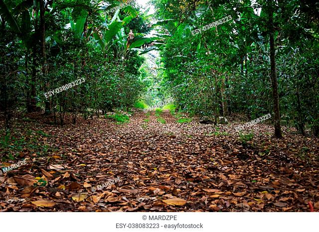 Walkway Lane Path With Green banana Trees in Rain Forest. Beautiful Alley In Park. Pathway Way Through Dark rain Forest