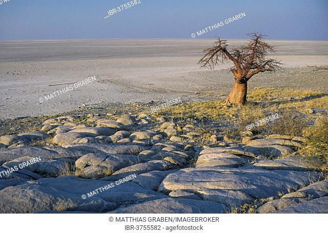 African Baobab (Adansonia digitata) on a rocky island, Kubu Island, Botswana