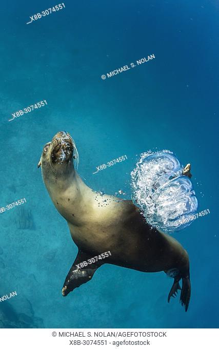 California sea lion, Zalophus californianus, underwater at Los Islotes, Baja California Sur, Mexico