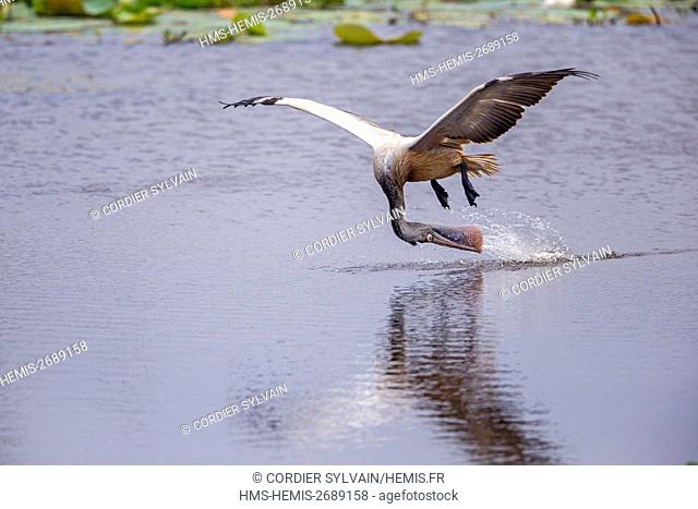 Sri Lanka, Yala national patk, Spot-billed pelican or grey pelican (Pelecanus philippensis), drinking during the flight, take some water in the beak and...