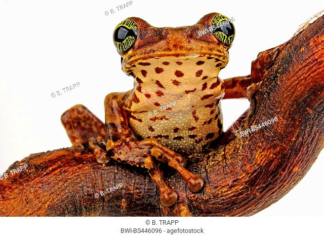 veined tree frog, common milk frog (Trachycephalus venulosus), sitting on a branch, cutout