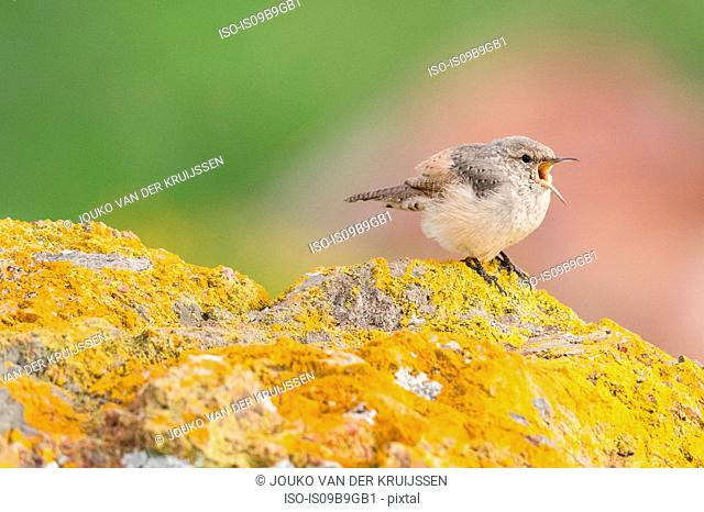 Rock Wren (salpinctes obsoletus) Coyote Hills Regional Park, California, United States, North America