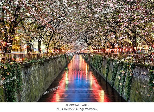 Cherry blossom trees at night in Tokyo, Japan