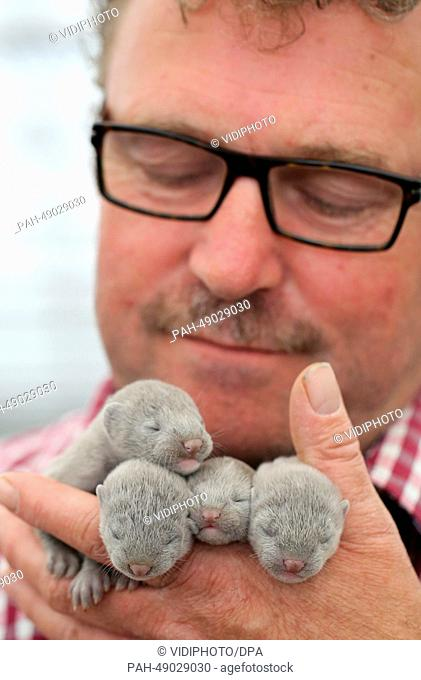 Mink breeder Marien van Voorthuijsen holds mink puppies at his farm in Randijk, The Netherlands, 26 May 2014. A court in The Hague on 28 May overturned a new...