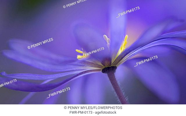 Anemone, Winter windflower, Anemone blanda 'Blue Shades', Blue coloured flower growing outdoor.-