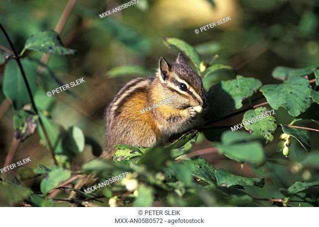 Yellow Pine Chipmunk Eutamias Amoenus, British Columbia, Canada Rockies