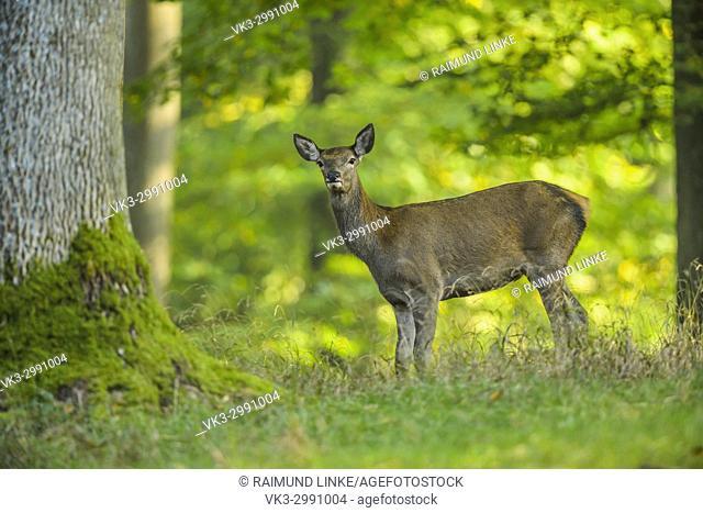 Red deer, Cervus elaphus, Female in Forest, Summer, Germany, Europe