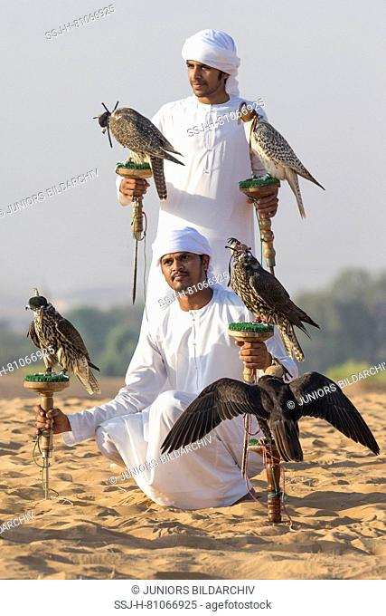 Saker Falcon (Falco cherrug). Two falconers with five a trained birds on their blocks. Abu Dhabi
