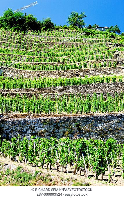 vineyard of Chateau Grillet, Rhone-Alpes, France