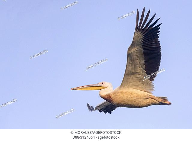 Africa, Ethiopia, Rift Valley, Ziway lake, Great White pelican (Pelecanus onocrotalus), in flight