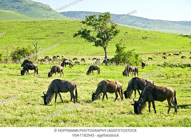 A herd of wildebeest (Connochaetes taurinus mearnsi) grazing in the Ngorongoro crater in Tanzania, Africa