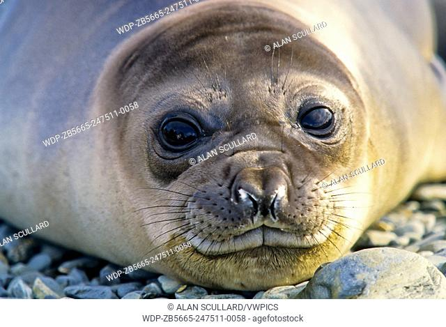 Elephant seal at Fortuna Bay, South Georgia Island, Antarctica. Pup or juvenile, head-only shot looking at camera with eyes open