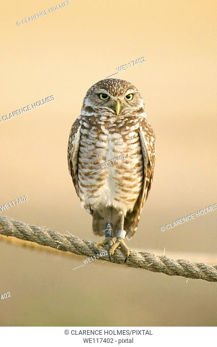 A Burrowing owl Athene cunicularia with leg bands perches on a rope around its burrow in Cape Coral, Florida, USA