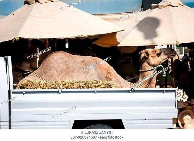 Transportation of camel by car in Tunisia