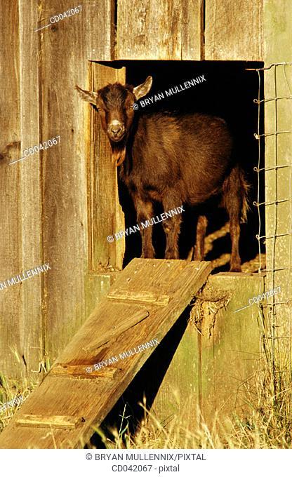 Black Billy goat in doorway to barn