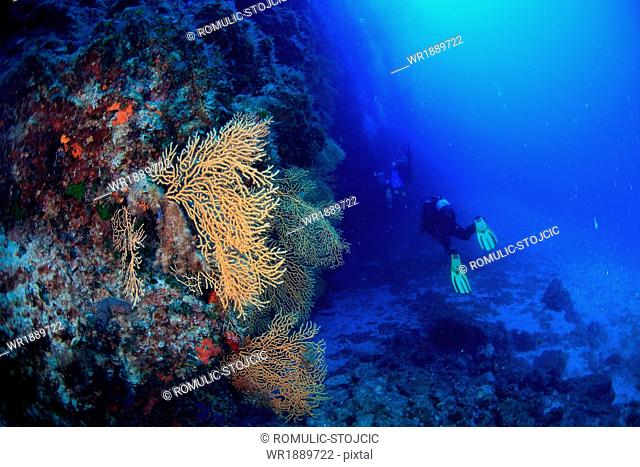 Diving, Sea Fan, Adriatic Sea, Croatia, Europa