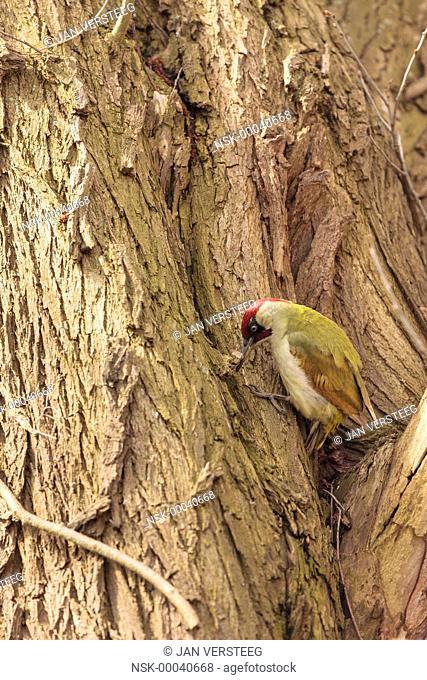 Green Woodpecker (Picus viridis) foraging in a tree, Belgium, Vlaanderen