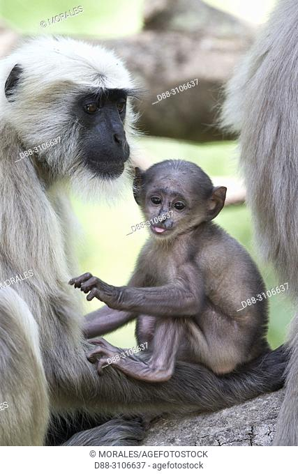 Asia, India, Uttarakhand, Jim Corbett National Park, Northern plains gray langur (Semnopithecus entellus), , mother abd baby