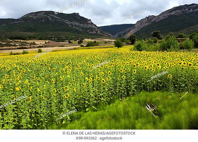 Sunflowers field. Burgos. Spain