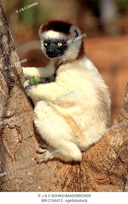 Verreaux's Sifaka (Propithecus verreauxi), adult in a tree, Berenty Reserve, Madagascar, Africa