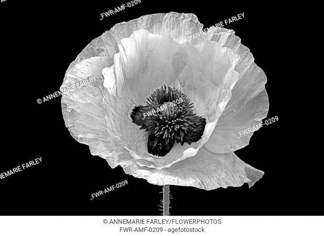 Poppy, Papaver commutatum 'Ladybird', black and white flower against a black background