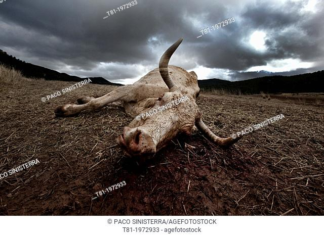 Dead cow, Gudar, Teruel, Spain