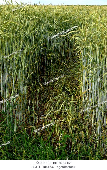 Crop damage by machines which spryed pesticides too short before the harvesting