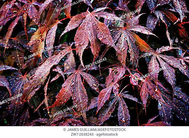 Acer palmatum variety Bloodgood
