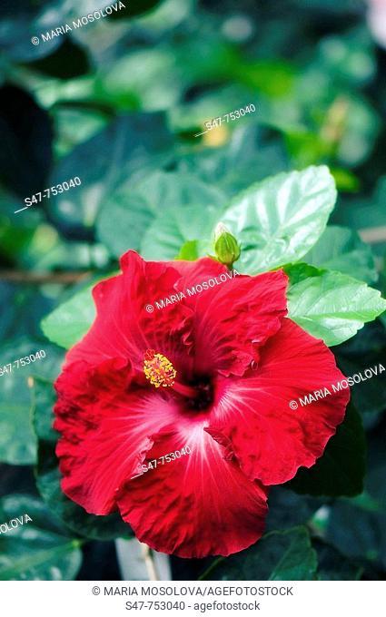 Red China Rose. Hibiscus hybrid