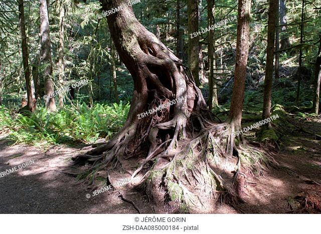 Twisted tree roots in forest, Olympic National Park, Washington, USA