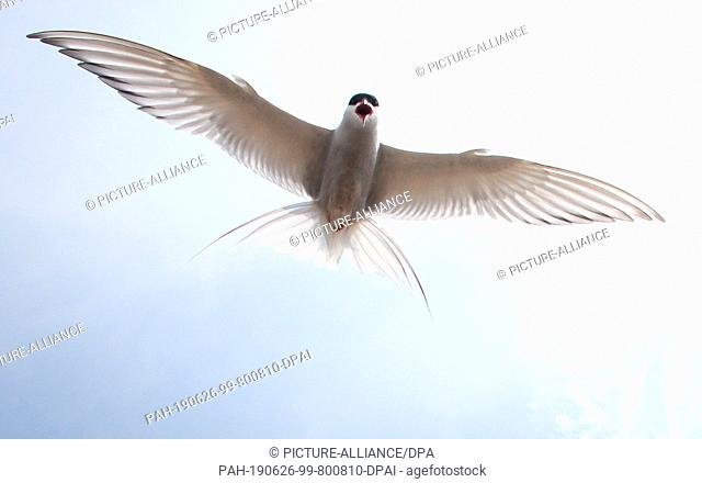 19 June 2019, Schleswig-Holstein, Wesselburenerkoog: A Arctic tern flies over a breeding colony at the Eider barrier. A colony of coastal and river terns...