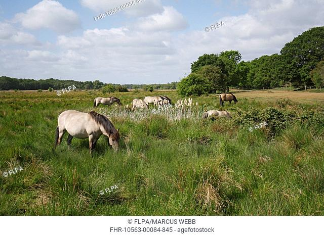 Konik Horse Equus caballus gemelli adults, herd grazing on rushes in river valley fen habitat, Redgrave and Lopham Fen N N R , Waveney Valley, Suffolk, England
