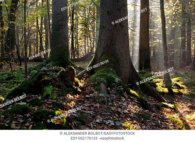 Sunbeam entering mixed stand in autumnal morning, Bialowieza Forest, Podlasie Province, Poland