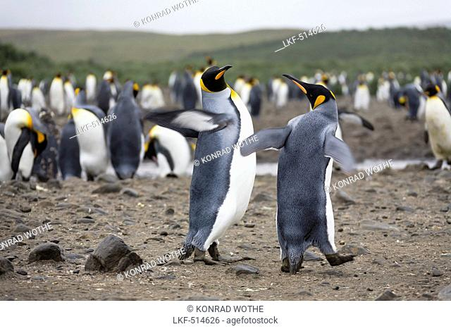 King Penguins, Aptenodytes patagonicus, Salisbury Plains, South Georgia, Antarctica