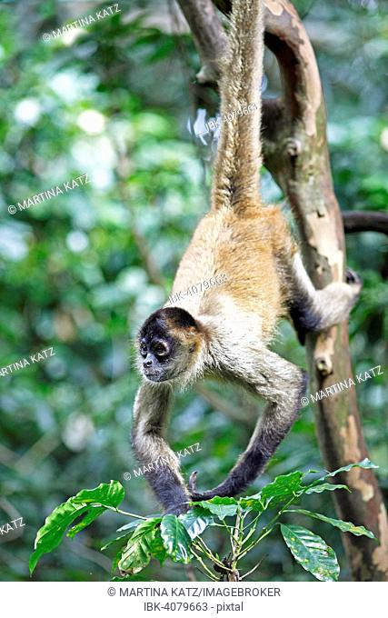 Central American Spider Monkey or Geoffroy's Spider Monkey (Ateles geoffroyi), clinging to a tree with its tail, Alajuela province, Costa Rica
