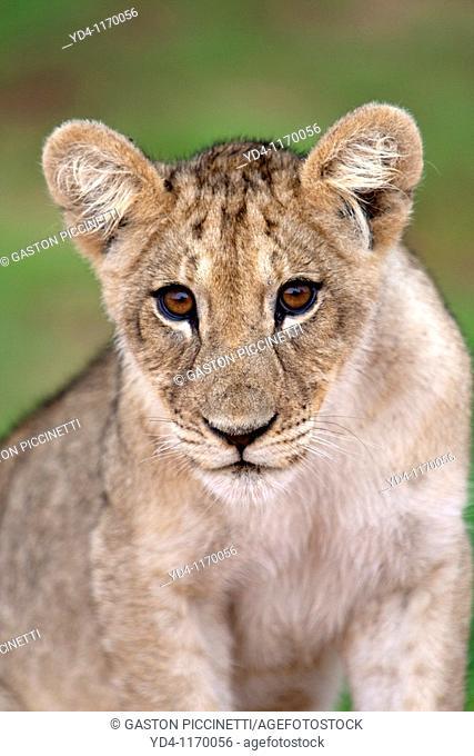 African Lion Panthera leo - Young, Kgalagadi Transfrontier Park, Kalahari desert, South Africa