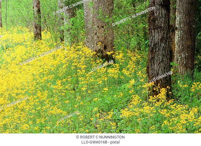 Woodland Scene of Golden Ragworts Seneco aureus and Trees  Great Smokey Mountains National Park, Tennessee, United States of America