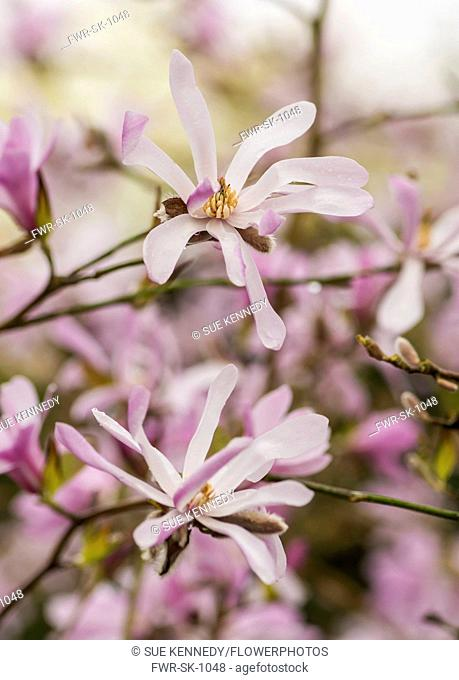 Magnolia, Magnolia 'Leonard Messel', Magnolia x loebneri 'Leonard Messel', Pastel pink flowers growing outdoor on the tree
