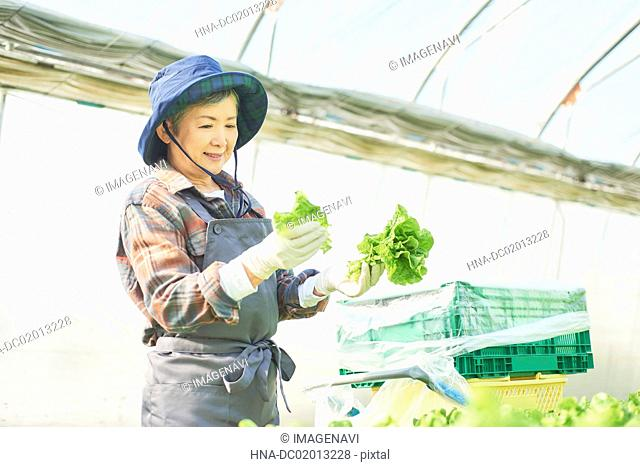 Senior woman picking stem lettuce