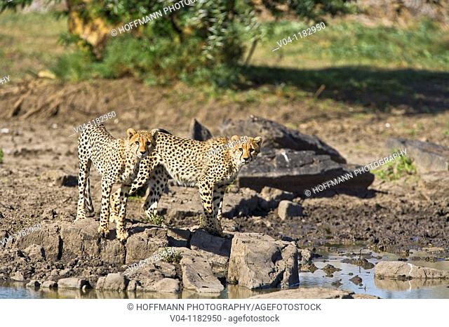 Two young cheetahs (Acinonyx jubatus) at a waterhole in the Serengeti National Park in Tanzania, Africa