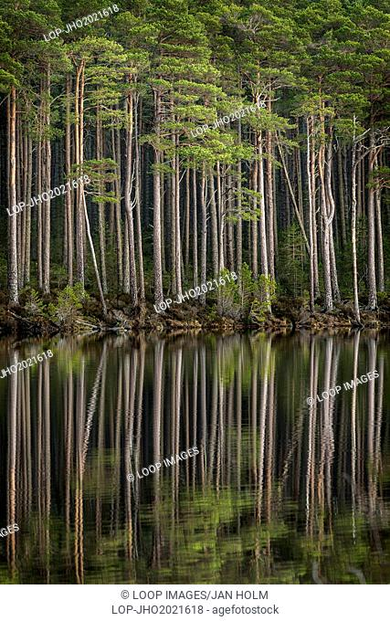 Loch Mallachie tall pines in Scotland