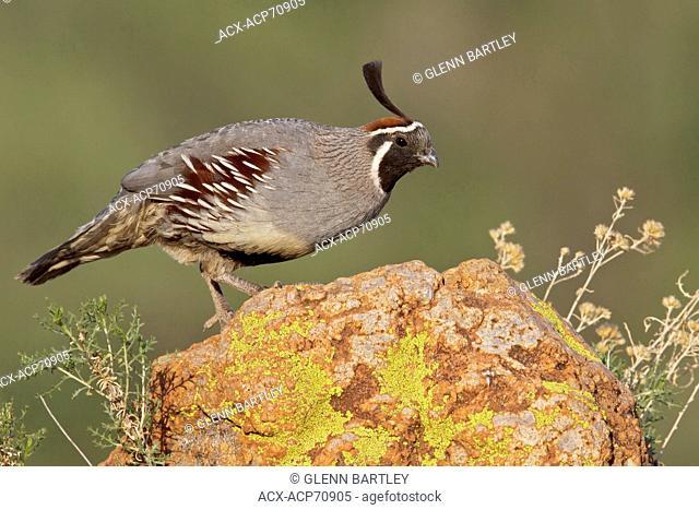 Gambel's Quail (Callipepla gambelii) perched on a rock in southern Arizona, USA
