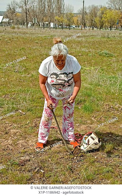 This photo is an elder Native American woman digging for camas Indian sweet potatoes in a traditional way with a wood stick tool She is a member of the...