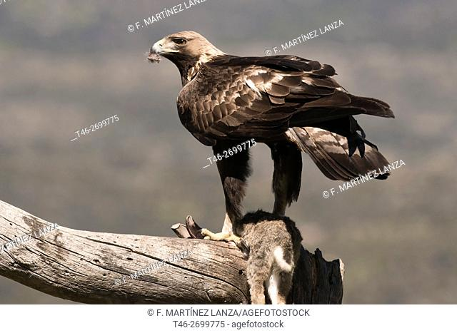 Golden Eagle (Aquila chrysaetos). Photographed in the Valley Nature Reserve Iruelas Avila Spain
