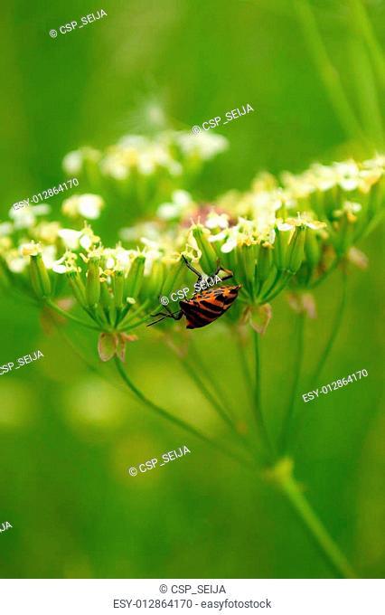 Striped shield bug on a cow parsley