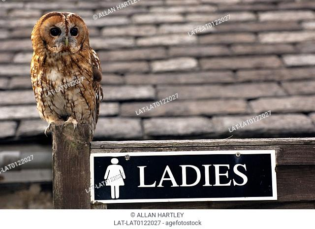 British Wildlife. Female Tawny Owl. Strix Aluco. Perched on post. Outside Ladies loo. Toilet. Sign